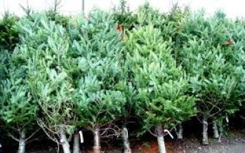 1.375 de brazi de Crăciun scoși de Direcția Slivică la vânzare