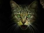 Pisică sălbatică (Felis silvestris)