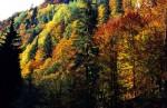 Păduri de amestec, zona Izvorul Izei, Munții Rodnei