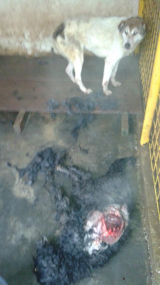 Câinii de la Ecarisajul Baia Mare se ucid și se mănâncă între ei